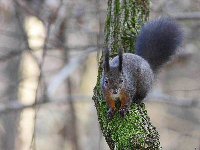 legambiente sernaglia scoiattolo su ramo